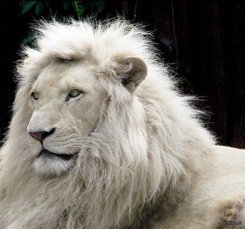 сколько лет живут белые львы