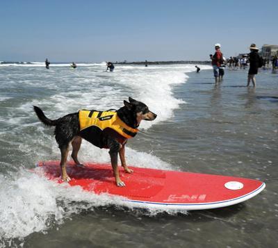 Самая длинная дистанция, пройденная собакой на доске для серфинга Собака породы австралийский келпи по кличке Эбби поймала волну и проскользила на доске для серфинга 65 метров. Этому экстремальному виду спорта четвероногую серфингистку научил ее хозяин, Майкл Уй.