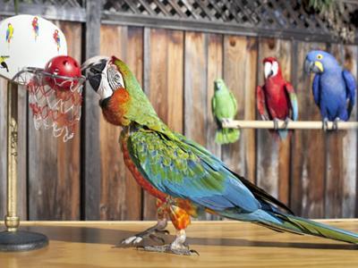 Наибольшее число бросков мяча в корзину, сделанных попугаем Попугай ара по кличке Зак из Калифорнии, США, может сделать за минуту 22 броска мяча в миниатюрный обруч для баскетбола.