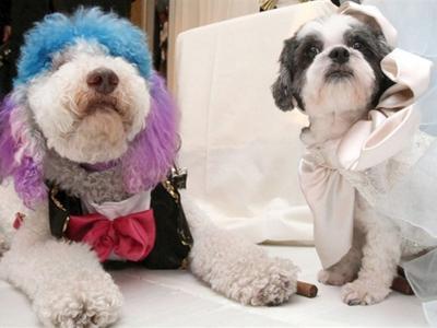 Самое дорогое бракосочетание животных Свадьба пуделя и собаки породы котон-де-тулеар состоялась 12 июля 2012 года в отеле Jurimuah Essex в Центральном парке Нью-Йорка и была оценена в $250 тысяч.