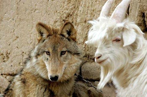 Козел и волк не только мирно сосуществуют на одной территории, но и дружат…