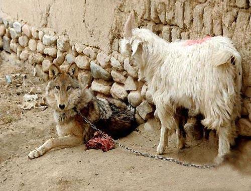 Когда волчонок поправился, крестьяне поселили его в собачьей будке …
