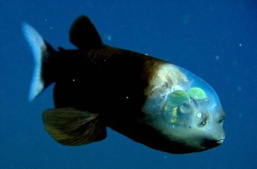 1. Малоротая макропинна   Рыба с прозрачной головой.