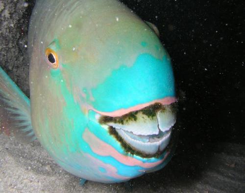 Рыба-попугай Семейство рыб-попугаев объединяет около 10 родов и 100 видов. Некоторые рыбы достигают 1.3 м в длину.