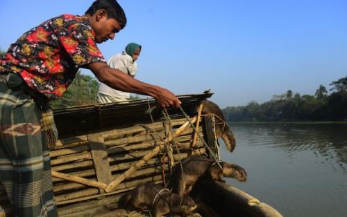 Ловля рыб при помощи выдр – привычный для жителей Бангладеша способ.