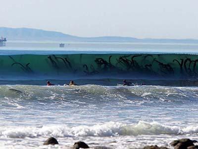 Устрашающего вида водоросли, которые время от времени выбрасывает на один из пляжей Новой Англии, США.