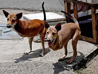 Двуногих собак, проживающих на Филиппинах, зовут Кьют и Бэмби. Невероятно, но эти животные родились без передних конечностей.