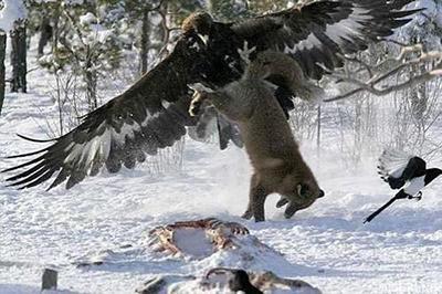 «Борьба за выживание». Орел оттаскивает лису от обглоданной туши, 22 февраля 2006 года. Авторство снимка принадлежит финскому охотнику Пекке Коми (Pekka Komi).