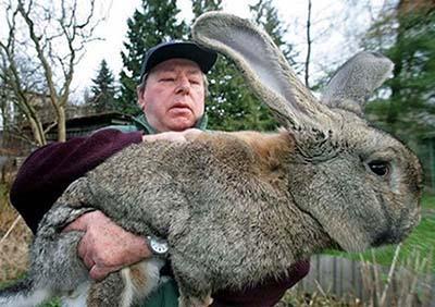 Кроликов-гигантов выращивает немецкий фермер Карлу Змлоински (Karl Szmolinsky). От желающих приобрести такую зверюшку у мужчины нет отбоя.