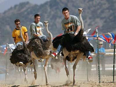 Несмотря на то, что страусы могут переносить на себе грузы до 200 кг, добраться до финиша в этой необычной гонке удается редким наездникам, поскольку усидеть на горбатой спине пернатого скакуна почти невозможно.