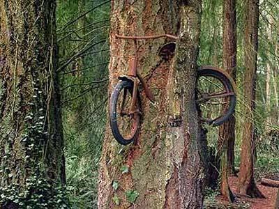 О том, как именно этот велосипед оказался внутри живого дерева, ходит множество легенд. Но как бы то ни было, дерево, поглотившее двухколесный байк, действительно существует в штате Вашингтон, США.
