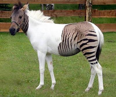 Зебройд - помесь зебры с лошадью - по кличке Эклис.