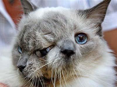 12-летний двуликий кот по кличке Янус попал в Книгу рекордов Гиннесса, как долгожитель среди кошек с подобными физическими отклонениями.