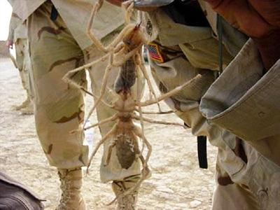 Пара верблюжьих пауков, пойманных в Ираке.