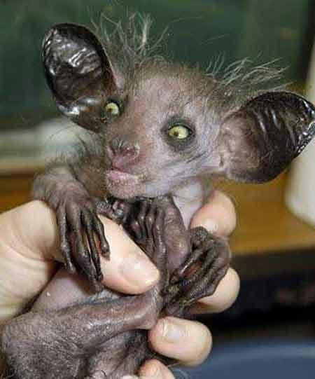 Puma: Мадагаскарская руконожка,частый герой компьютерных фотоприколов