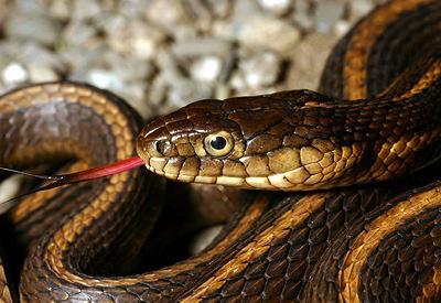 После спаривания самец ленточной змеи