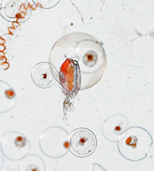 Microscopic ocean organisms