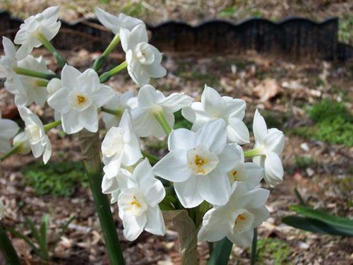 Белые ядовитые цветы