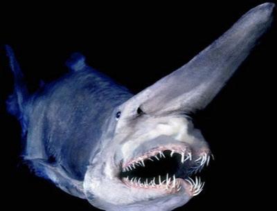 Акула-гоблин выловлена в Черном море. фото.