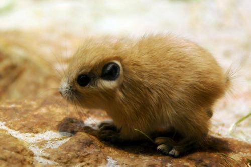 Гунди — вид грызунов семейства гребнепалых.
