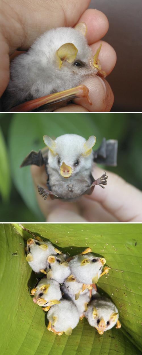 Малыш белый листонос — вид летучих мышей.