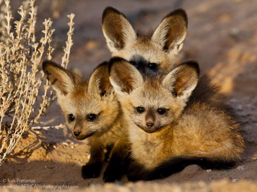 Детеныши африканской большеухой лисицы.