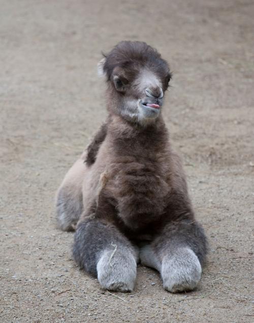 Детеныш двугорбого верблюда.