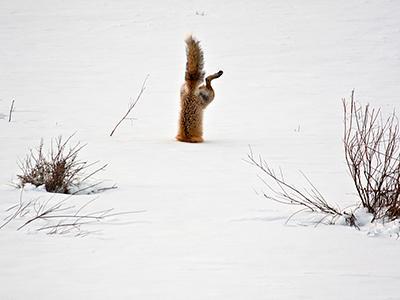 Похвальный отзыв жюри: «Обыкновенная лисица обладает исключительным слухом. На фото лисица ловит мышей под 60-сантиметровым слоем снега, покрытым ледяной коркой». (Micheal Eastman)
