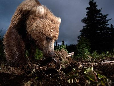 Похвальный отзыв жюри:  «Дикий аляскинский гризли роется в земле на тропе». (Jason Ching)