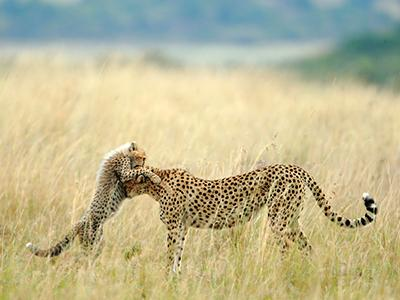 Выбор зрителей в категории «Природа»: «Мне посчастливилось сфотографировать эту самку гепарда по имени Малаика и ее детеныша в заповеднике Масаи-Мара. Малаику знают все, так как она имеет обыкновение запрыгивать на автомобили. Она научилась этому у своей матери Кике, которая, в свою очередь, переняла эту привычку у своей матери Амбер. Теперь Малаика преподает уроки своему детенышу». (Sanjeev Bhor)