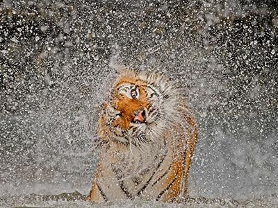 Главный приз и 1-ое место в категории «Природа»: «Эта тигрица по имени Бусаба живет в зоопарке «Khao Kheow» в Таиланде. Я часто фотографировал Бусабу, и с каждым разом становилось все сложнее получить снимок, который бы отличался от предыдущих. Но, в конце концов, мне выпала такая возможность, и я запечатлел Бусабу, когда она отряхивалась после купания в водоеме». (Ashley Vincent)