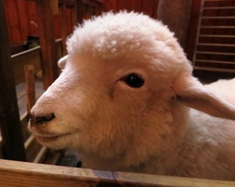 В Сеуле открылось кафе с овцами