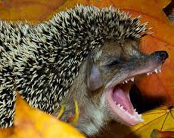 зубы у ежика фото