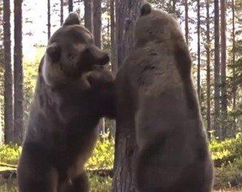 Битва двух бурых медведей набирает популярность в интернете