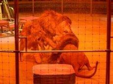 Три льва подрались на арене цирка