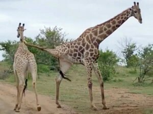 Два жирафа-акробата попали на видео