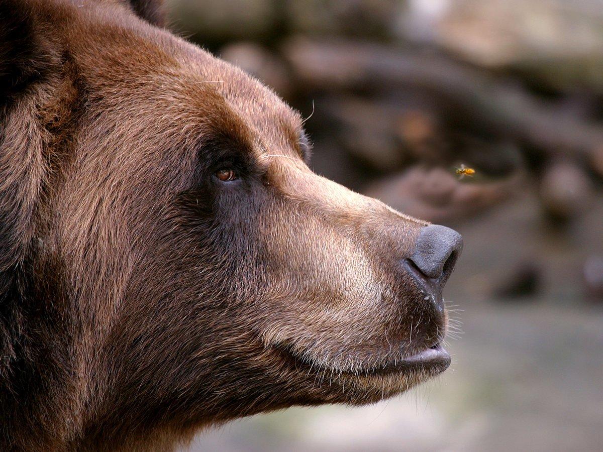 В Челнах сняли на видео медведя, ехавшего в легковушке на заднем сиденье и просунувшего морду в окно.