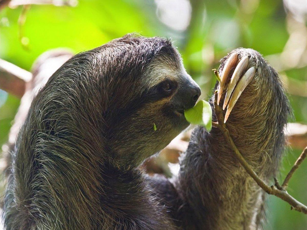 Как двигаются и едят ленивцы