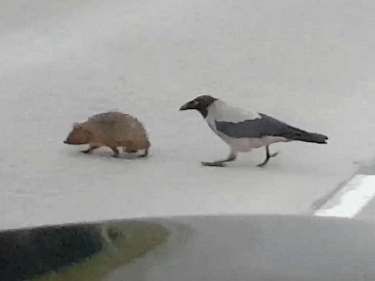 Ворона помогла ежику перейти через дорогу