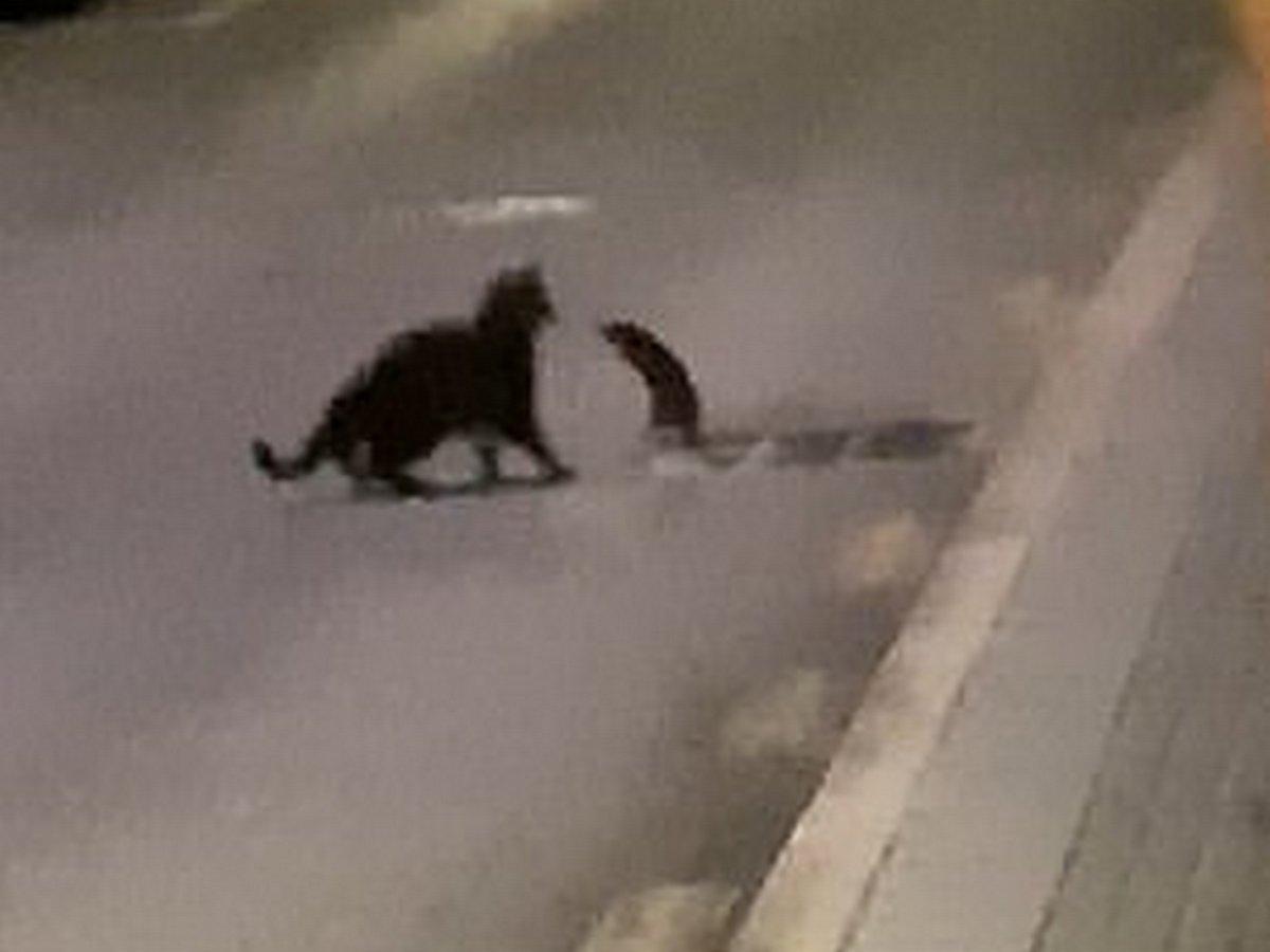 Крыса сразилась с бродячей кошкой
